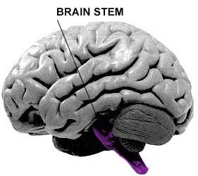 breathing_brain_stem